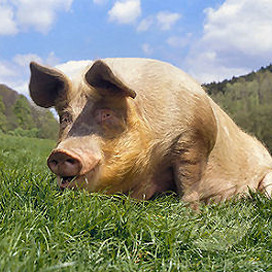 Nieuw vleesmerk: Gaasterlands Kruidenvarken
