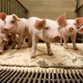 Keten Duurzaam Varkensvlees 'vernieuwd' op Slavakto