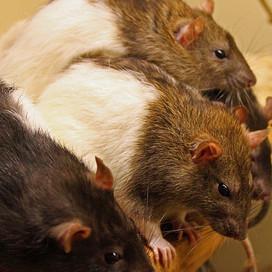 Rattenvlees in Britse supers