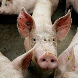 NVV en LTO: laat varkenshouders niet in kou staan