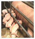 Meer varkens, maar minder varkenshouders