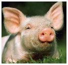 Varkensgriep zit niet in vlees: feiten op een rij