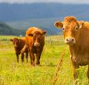 Sterke opmars Iers rundvlees
