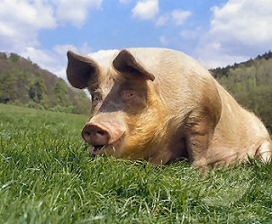 Nieuw merk BioVarken voor slager