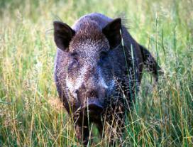 Dodelijke parasiet in Duits zwijnenvlees
