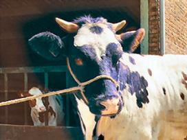 Rundvleesfestival eindigt in gevecht