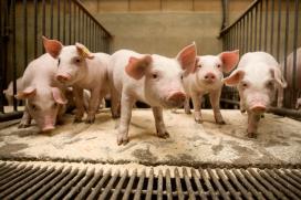 Keten Duurzaam Varkensvlees stopt met Milieukeur