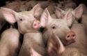 Vomar stoot AH uit top-3 VarkensvleesMonitor