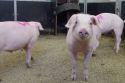 Verhuisbare varkensstal in ontwikkeling