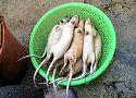 India smikkelt van rattenvlees