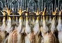 Aangifte tegen kippenslachterijen dreigt