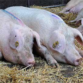 Varkenshouders Frievar willen productie verdubbelen