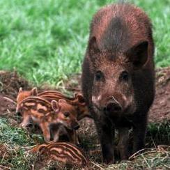 Zeker negen Belgen ziek na consumptie besmet zwijnenvlees