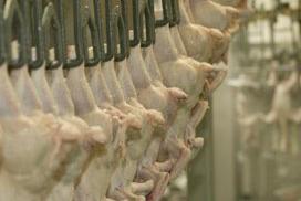 Zorgen over negeren regels slacht pluimvee