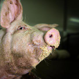 Varkenstermijnmarkt wil niet op gang komen