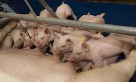 Nieuwe blockchain voor varkensvlees biedt transparantie