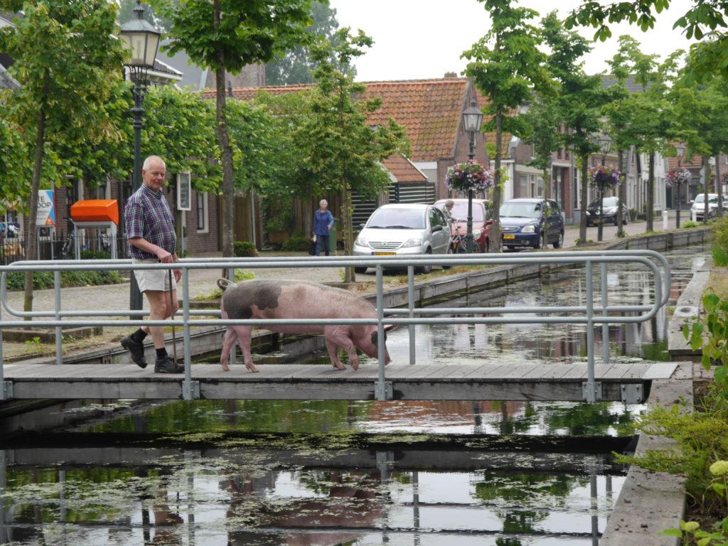 Varkens zijn volgens Zwetsloot intelligente dieren,. die het prachtig vinden om een stukje te wandelen.