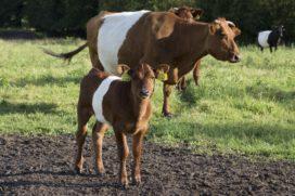 Verbod op slacht drachtige koeien uitgebreid
