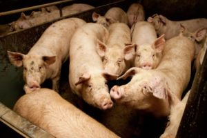 Spoedoverleg over Afrikaanse varkenspest