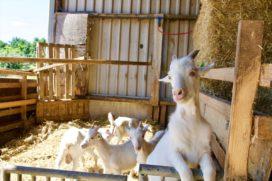 Crowdbutching wil consument leren om geitenvlees te eten