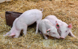 Platform Varkensketen brengt duurzaam varkensvlees naar Grüne Woche