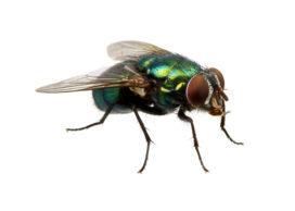 Tips tegen vliegen in de slagerij: Hoe kan je ze weren en bestrijden?
