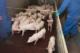 NVWA: 'Dierenwelzijn vaak op orde, maar soms ernstige incidenten'